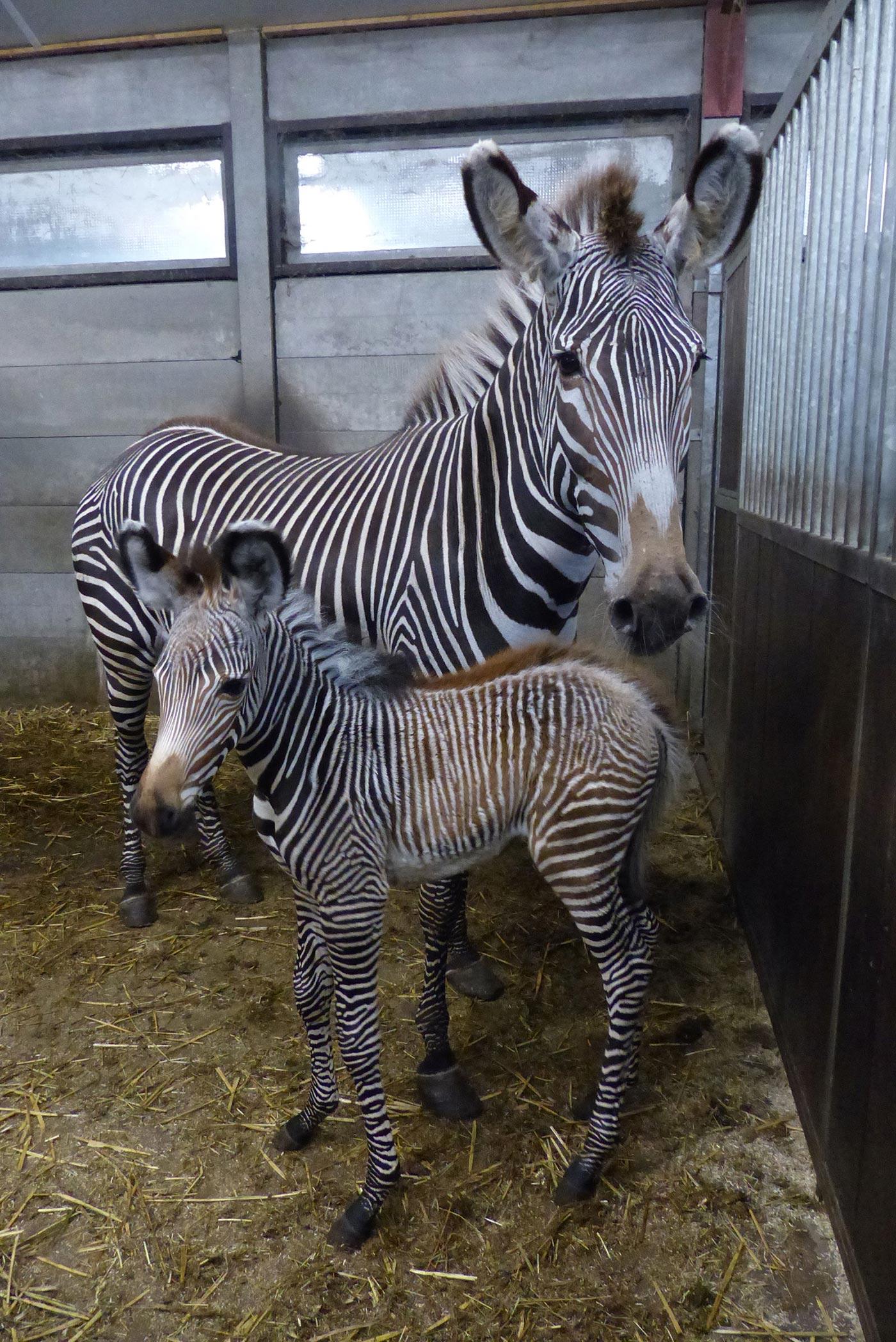 vierde-grevy-zebra-geboren-beekse-bergen.JPG
